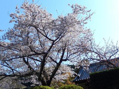光触寺の桜