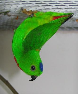 blue crown hanging parrot