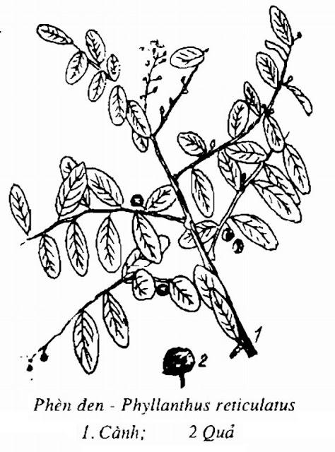 Hình vẽ Phèn Đen - Phyllanthus reticulatus - Nguyên liệu làm thuốc Đắp vết thương Rắn Rết cắn