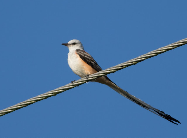 Scissor-tailed Flycatcher - Florida
