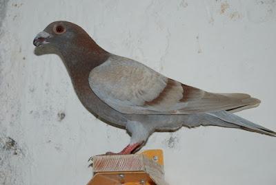 pigeons fall web site