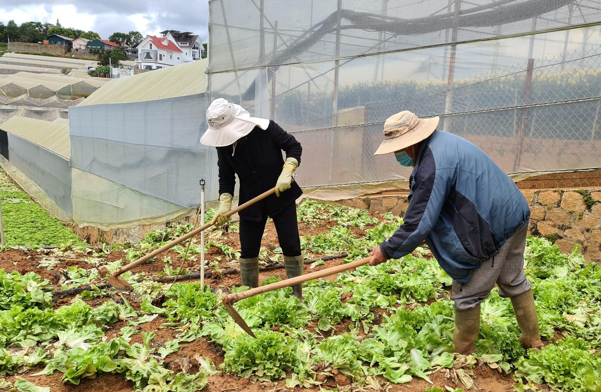 Vợ chồng bà Hà phải cuốc vườn rau cô rôn vì không bán được. Ảnh: Lâm Viên