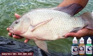 Essen Ikan Nila Khusus Di Kolam