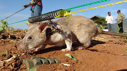 Chúng ta có cần sử dụng chuột để đánh hơi bom mìn không?