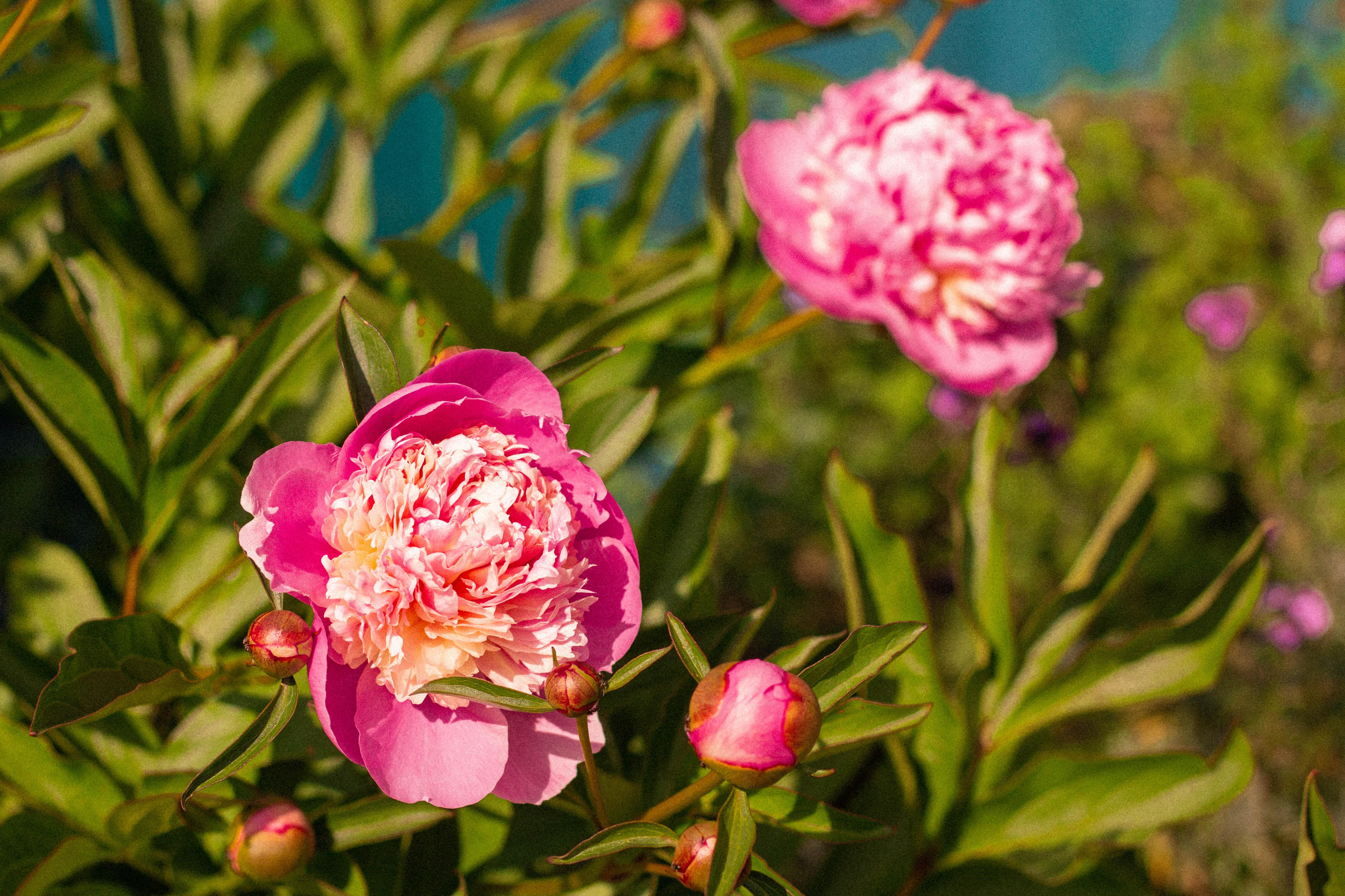pink peonies in a garden