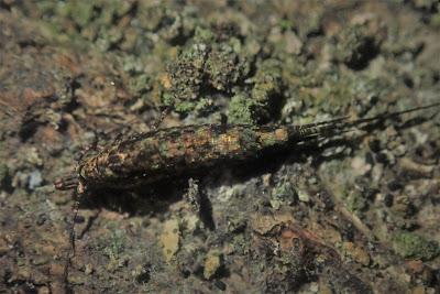 Dilta hibernica