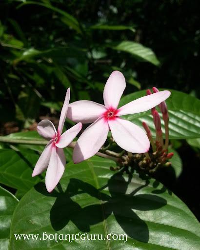 Kopsia fruticosa, Pink Kopsia, Shrub Vinca flower