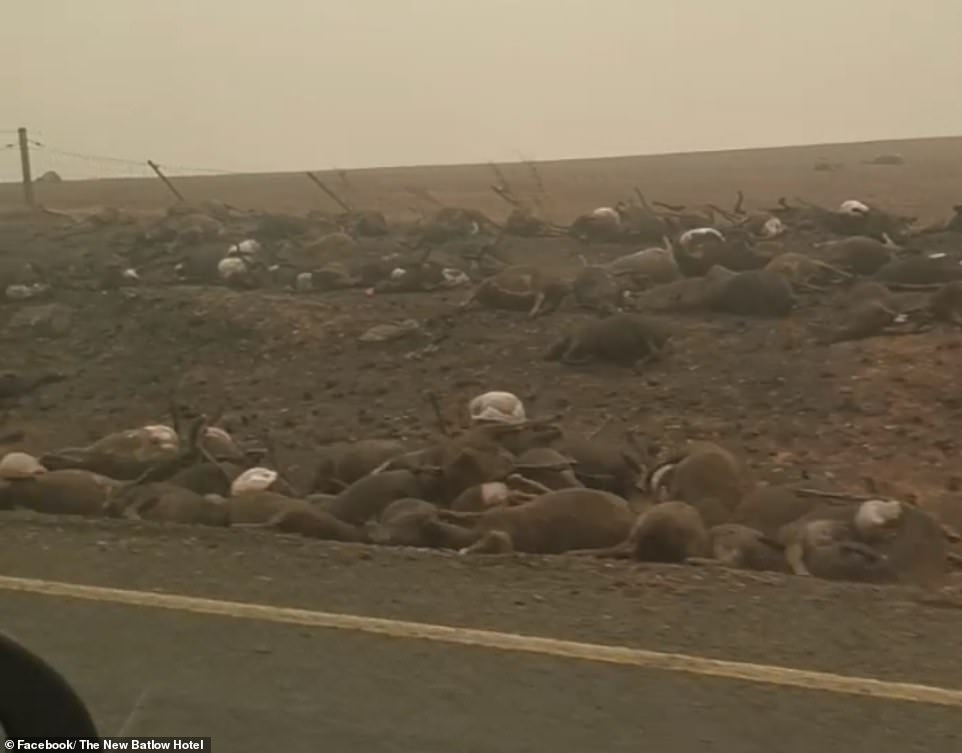 Dead Koalas, Kangaroos And Sheep, Australia Bushfire