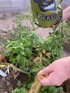Bokashi fertilizer being spread on plants