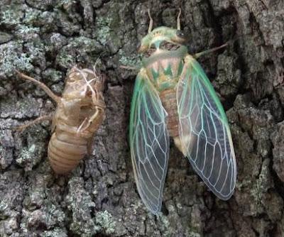Molted Cicada + Exoskeleton