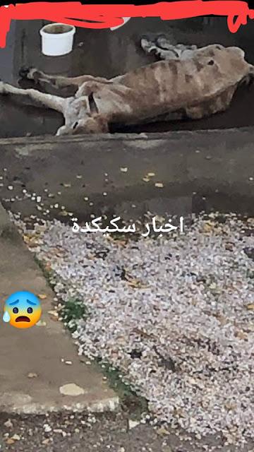 #فيديو_صادم للبقرة التي تعاني مند صبيحة اليوم بحي 500 مسكن