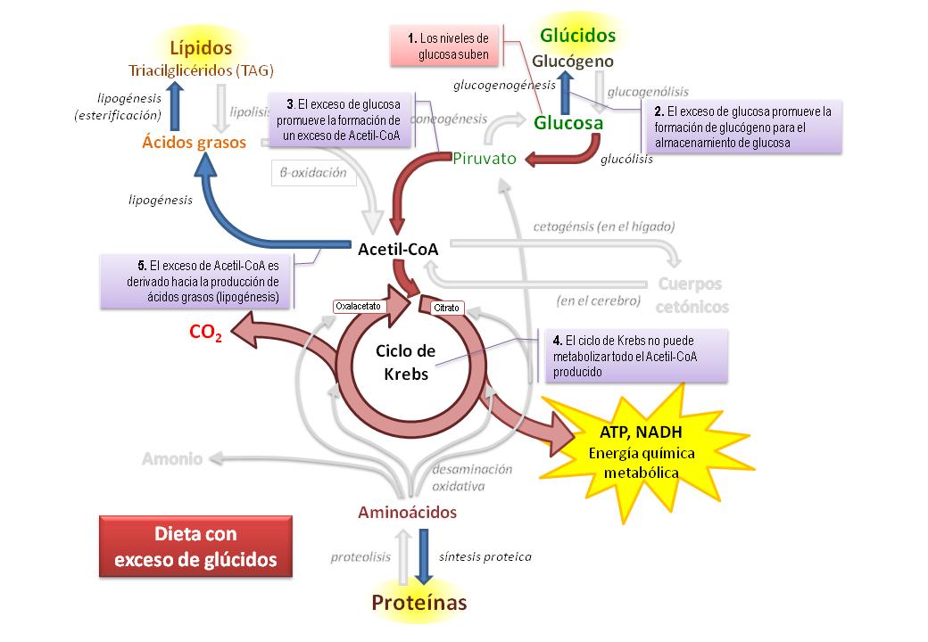 aulabiogeotoni: 2º BIOLOGÍA BACHILLERATO. METABOLISMO