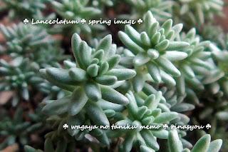セダム lanceolatum