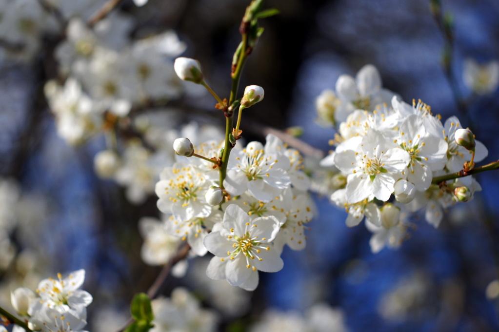 #025 Soligor f3.5 50mm - Kirschblüte in Nachbars Garten