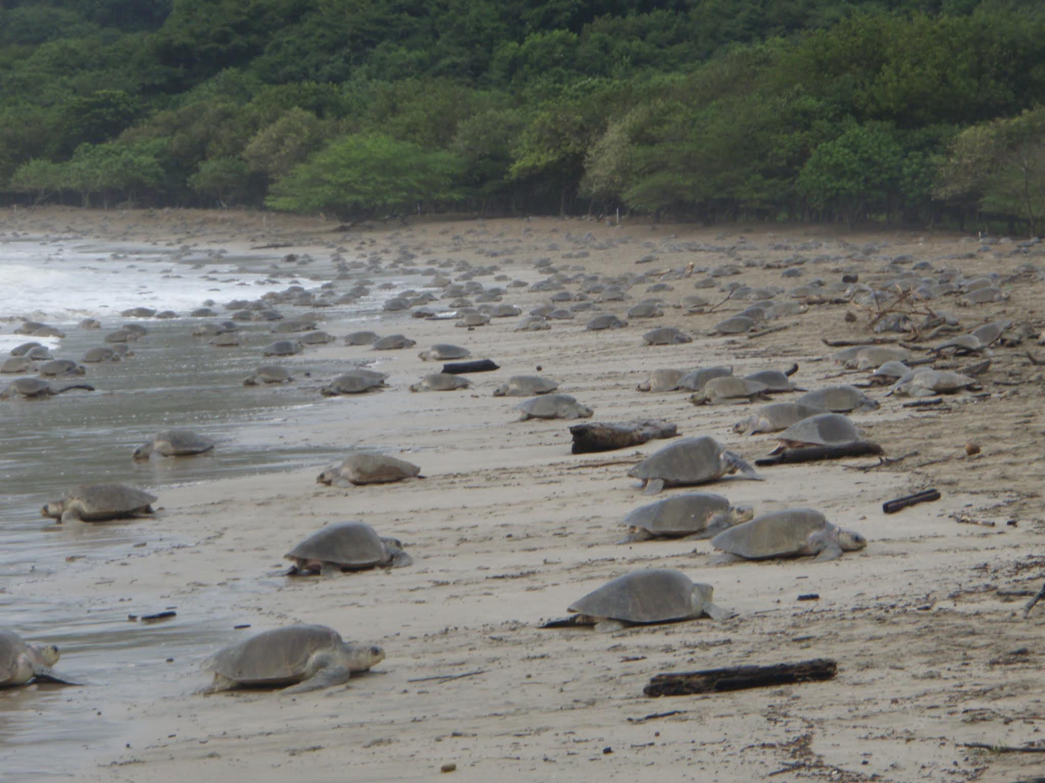 sea turtles ostional nicaragua