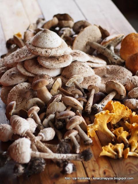 na grzyby, grzyb, czubajka kania, czubajki, grzyby jadalne, jaki to grzyb, grzybnieta, podlasie, zbieranie grzybow