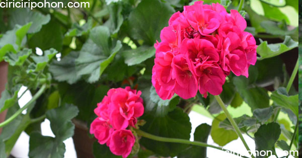 ciri ciri pohon geranium