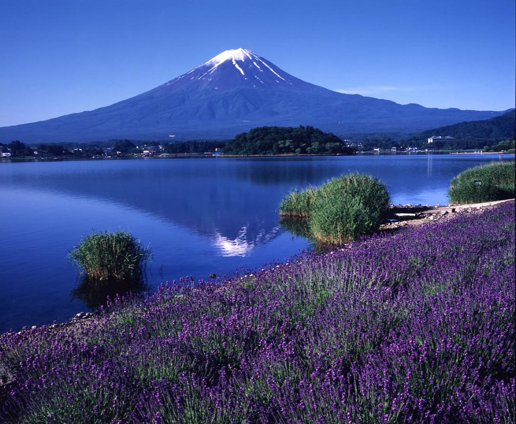 河口湖獨有美景 香草節 湖面上交織出 薰衣草與富士山美絕景色
