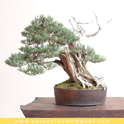 Bonsai Juniperus Occidentalis (Sierra) 1