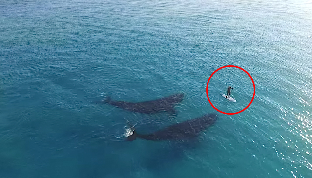 Dave Price meets the two whales on his stand-up paddle board