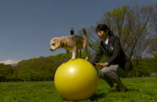 Il cane più veloce del mondo sopra una palla si chiama Purin