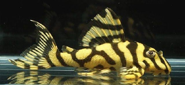Ikan Pleco - 13 Ikan Hias Pemakan Lumut