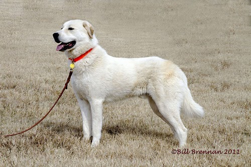 Colorado Great Pyrenees Rescue Community: Klondike ...