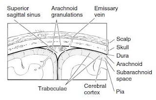 Meningitis anatomy
