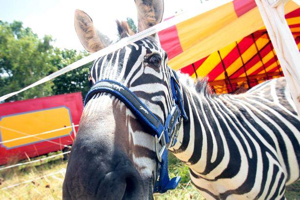 Zebra num circo