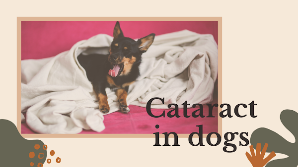 Cataract in dogs, causes, symptoms and treatment