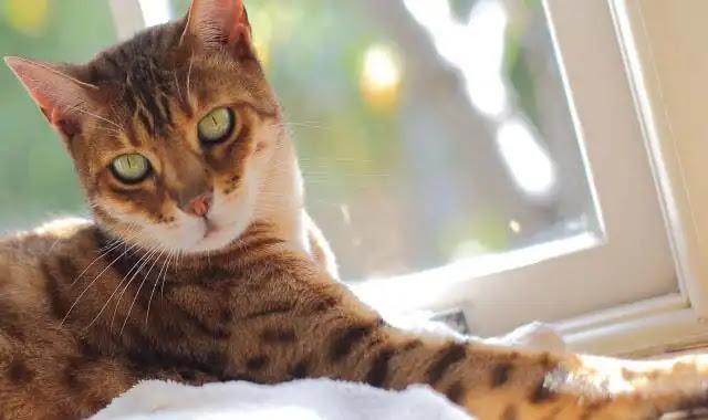 Comment garder mon chat Bengal hors de mes comptoirs