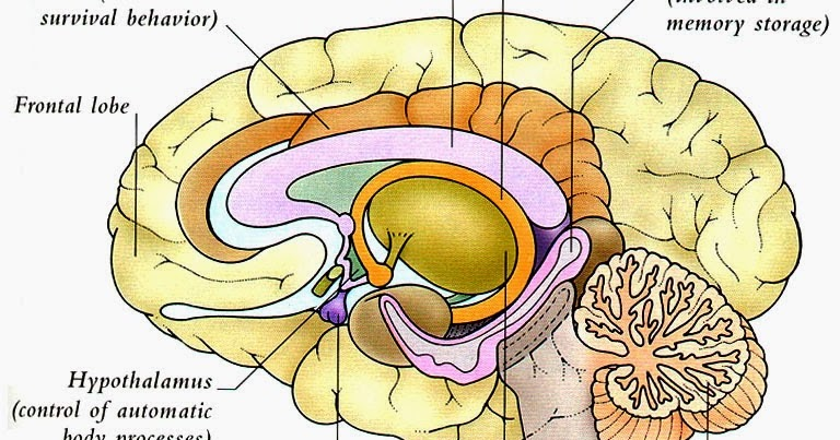 Human&Animal Anatomy and Physiology Diagrams: Human Brain ...