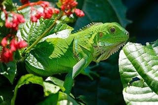 Ciri Ciri Iguana Mengalami Infeksi dan Cara Mengatasinya
