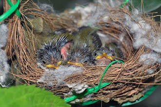 A Bird Nest - Three is a Crowd