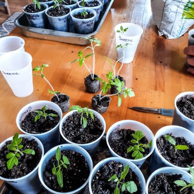 Transplanting small, leggy tomaotes into larger containers | On The Creek Blog