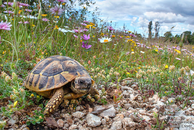 "Testudo hermanni ""hercegovinensis"" - Dalmatian tortoise"
