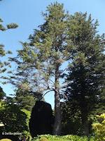 Sitka spruce - Wellington Botanic Garden, New Zealand