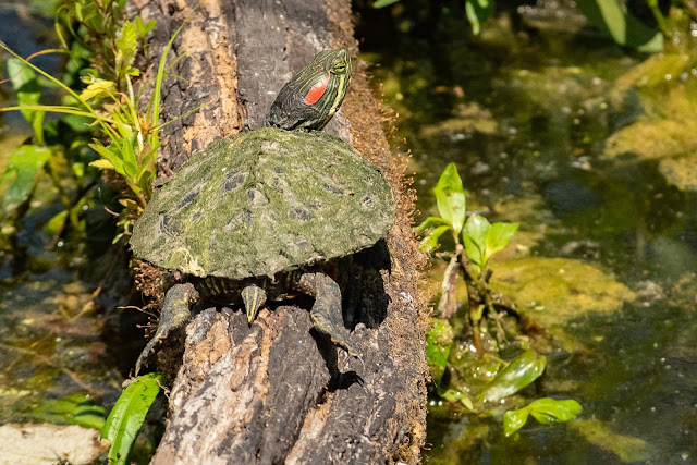 Red-eared Slider, Heard Natural Science Museum & Wildlife Center