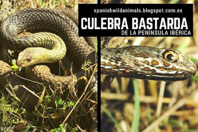 Malpolon monspessulanus, serpiente no peligrosa para el hombre