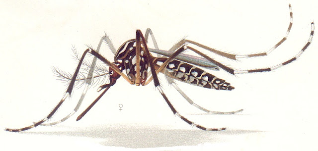 Aedes aegypti in hindi