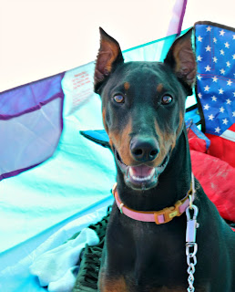 callie doberman galveston texas