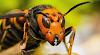El avispón asiático gigante