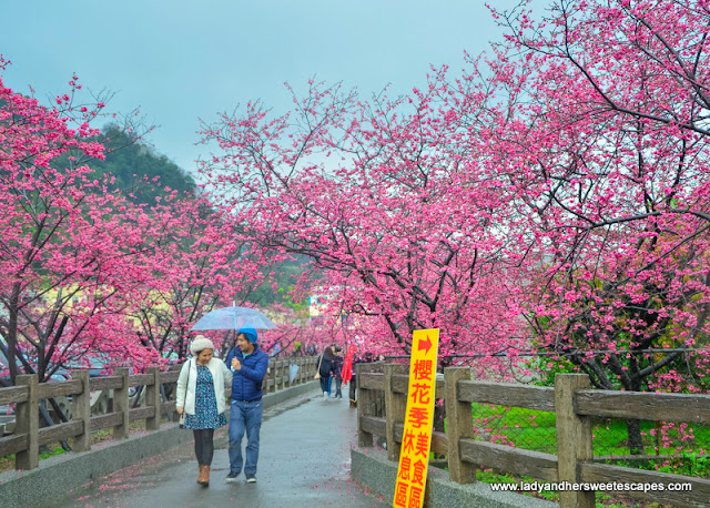 lane of cherry blossoms in Tai'an Police Station