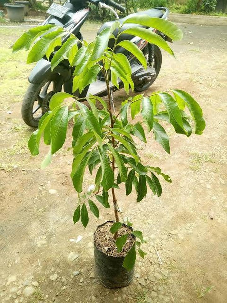 Bibit kelengkeng pimpong super genjah Sumatra Barat