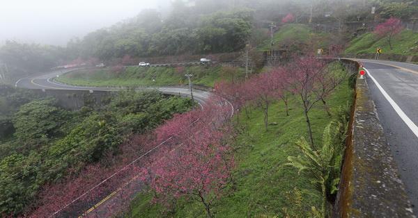 台中新社|新社興和產業道路的連續彎路櫻花林|路旁轉角的櫻花之美