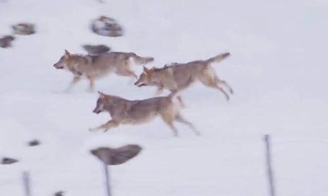 Τρεις λύκοι επιχειρούν να κατασπαράξουν σκύλο. Δεν περίμεναν ποτέ πως εκείνος... (video)