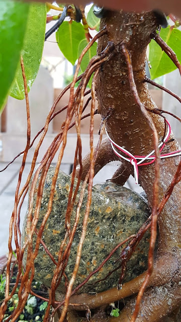 aerial roots, root over rock