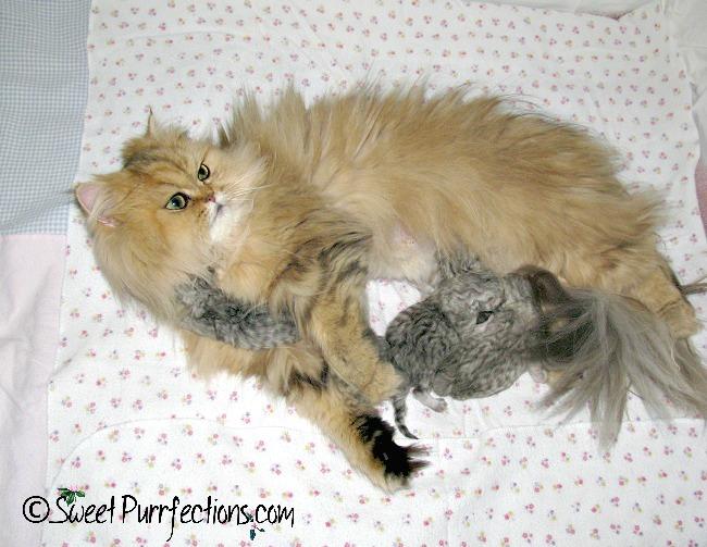 Golden shaded Persian cat, Mikayla, with her first litter of cats