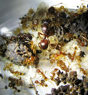 queen, male alate, soldiers and workers of an average size brown Pheidole species
