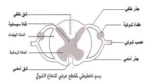 رسم تخطيطي لمقطع عرضي للنخاع الشوكي